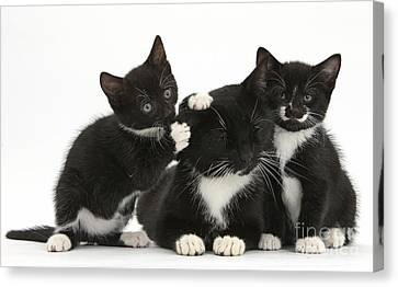 Mother Cat With Two Kittens Canvas Print by Mark Taylor