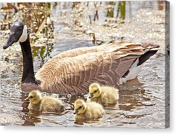 Mother Goose And Goslings Canvas Print by Natural Focal Point Photography