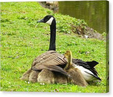 Mother Goose Canvas Print by Bruce Brandli