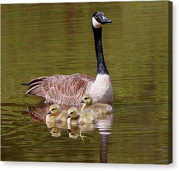 Mother Goose With Baby Geese Canvas Print by Edward Kocienski