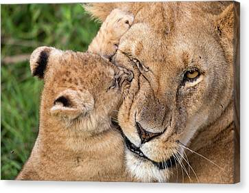 Lioness Canvas Print - Mother Love by Alessandro Catta