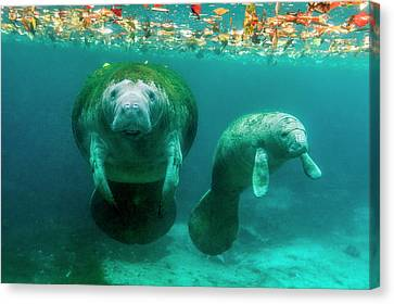 Mother Manatee With Her Calf In Crystal Canvas Print