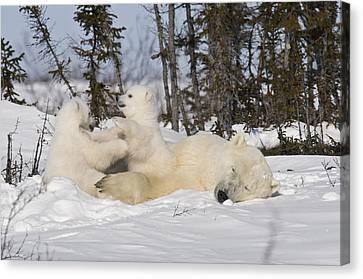 Mother Polar Bear Sleeps While Her Cubs Play Canvas Print