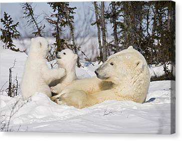 Mother Polar Bear Watches Her Cubs Play Canvas Print