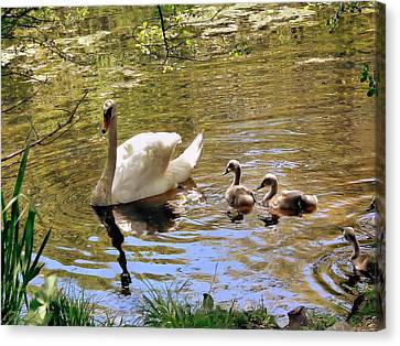 Canvas Print featuring the photograph Mother Swan And Cygnets by Janice Drew