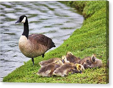Mother With Goslings Canvas Print by Jason Politte