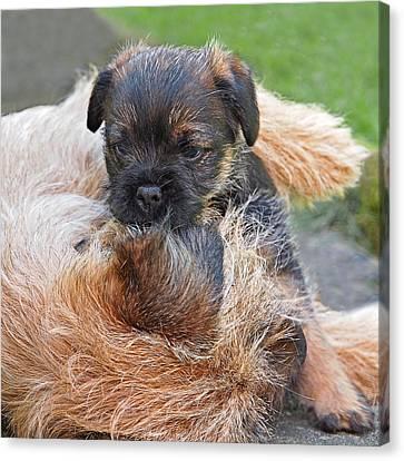 Mother's Love - Border Terrier Canvas Print