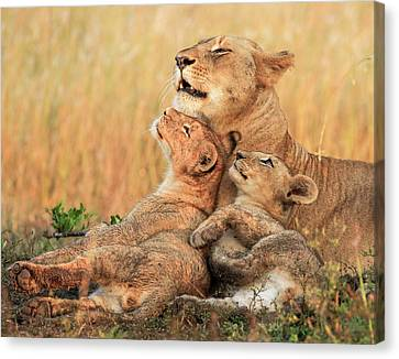 Lioness Canvas Print - Mothers Love by Jaco Marx