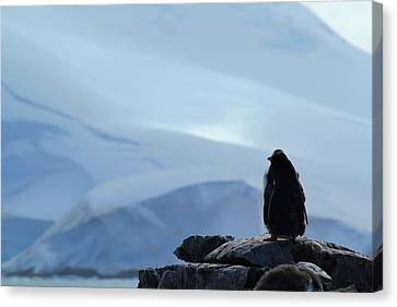 Moulting Gentoo Canvas Print by FireFlux Studios