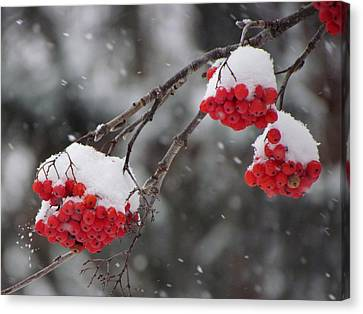 Mountain Ash Berries In Snow Canvas Print