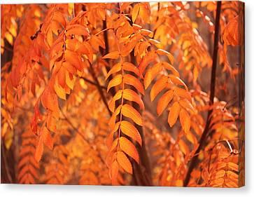 Mountain Ash Leaves - Autumn Canvas Print