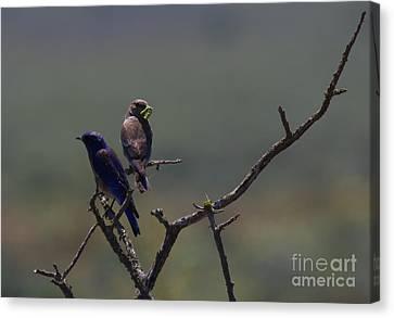 Mountain Bluebird Pair Canvas Print by Mike  Dawson