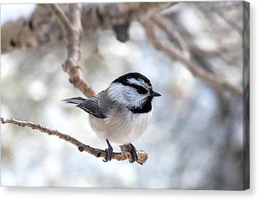 Mountain Chickadee On Branch Canvas Print by Marilyn Burton