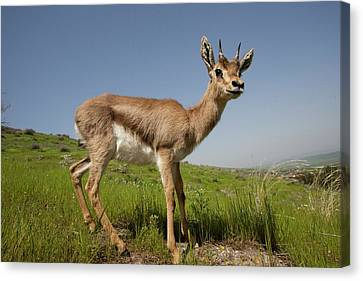 Mountain Gazelle (gazelle Gazelle) Canvas Print by Photostock-israel