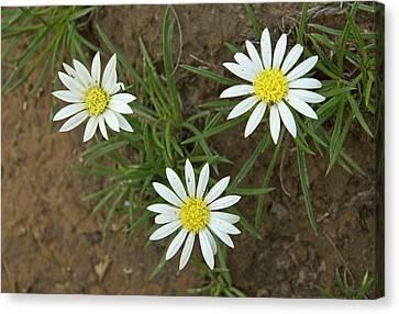 Mountain Gerbera (hirpicium Armerioides) Canvas Print