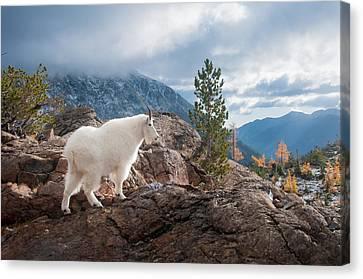 Canvas Print featuring the photograph Mountain Goat by Brian Bonham