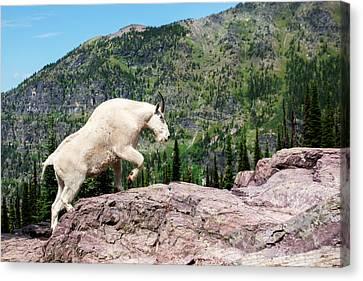 West Glacier Canvas Print - Mountain Goat Climbing Rocks In Glacier by James White