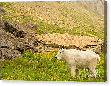 Mountain Goat In The Mountains Canvas Print by Natural Focal Point Photography