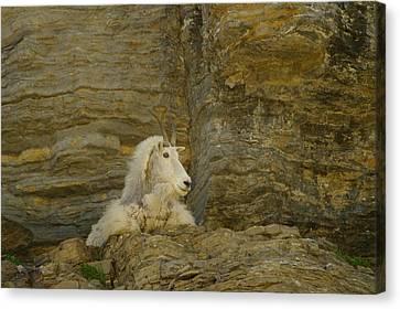 Mountain Goat Canvas Print by Jeff Swan