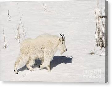 Mountain Goat Stroll Canvas Print by Sandra Bronstein