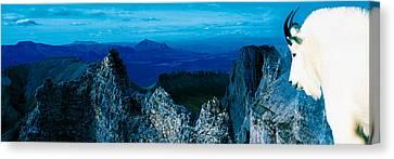 Mountain Goat Yukon Territory Canada Canvas Print