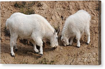 Mountain Goats At The Salt Lick Canvas Print by Vivian Christopher