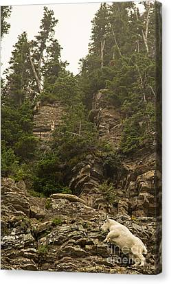 Mountain Goats In Glacier 2 Canvas Print by Natural Focal Point Photography