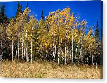 Mountain Grasses Autumn Aspens In Deep Blue Sky Canvas Print