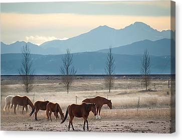 Wild Mountain Horses - Rocky Mountains Colorado Canvas Print