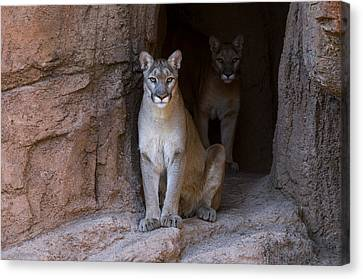 Canvas Print featuring the photograph Mountain Lion 1 by Arterra Picture Library