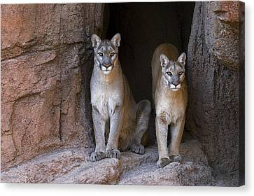 Canvas Print featuring the photograph Mountain Lion 2 by Arterra Picture Library