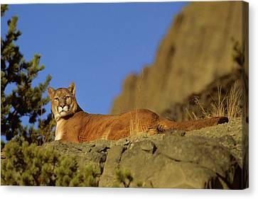 Susan Canvas Print - Mountain Lion (felis Concolor by Richard and Susan Day