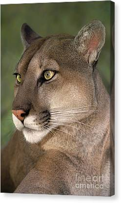 Canvas Print featuring the photograph Mountain Lion Portrait Wildlife Rescue by Dave Welling