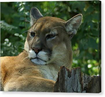 Mountain Lion Canvas Print by TnBackroadsPhotos