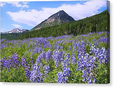 Mountain Lupine Meadow Canvas Print