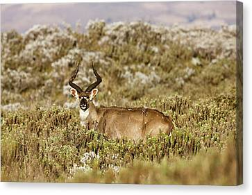Mountain Nyala In Bale Mountains Canvas Print by Martin Zwick