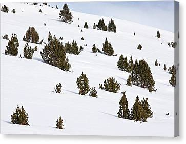 Mountain Pine (pinus Mugo) Trees In Snow Canvas Print by Bob Gibbons