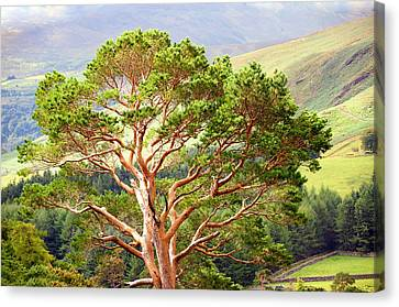 Mountain Pine Tree In Wicklow. Ireland Canvas Print by Jenny Rainbow