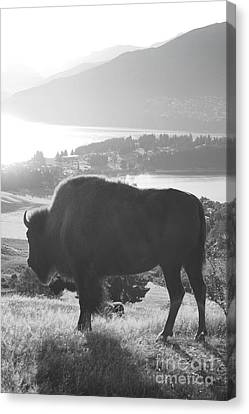 Bison Canvas Print - Mountain Wildlife by Pixel  Chimp