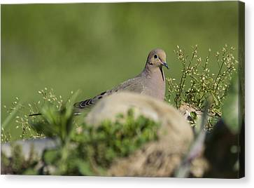Mourning Dove 1 Canvas Print by David Lester
