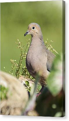 Mourning Dove 2 Canvas Print by David Lester