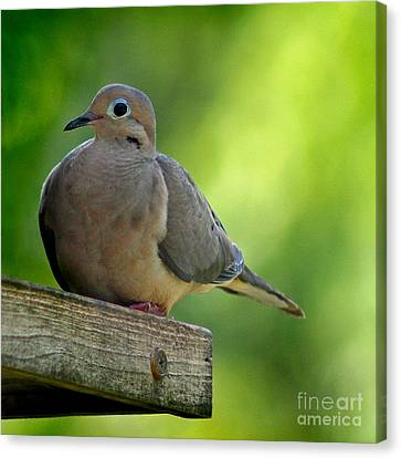 Mourning Dove At Feeder Canvas Print by Karen Adams
