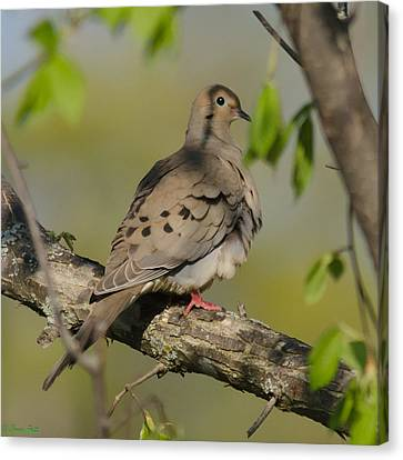 Mourning Dove Canvas Print by Bruce Pett
