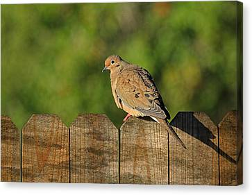 Mourning Dove Canvas Print by HH Photography of Florida