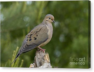 Mourning Dove Canvas Print by Linda Freshwaters Arndt