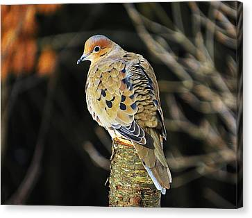 Mourning Dove On Post Canvas Print