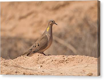 Mourning Dove Canvas Print by Rich Leighton