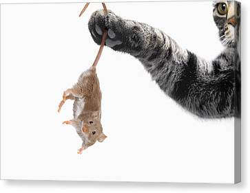 Mouse Dangling From Grey Tabby Cats Canvas Print by Thomas Kitchin & Victoria Hurst