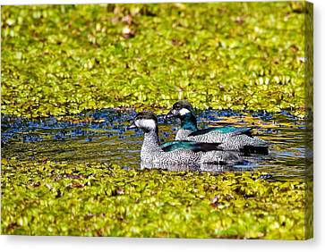 Mr And Mrs Green Pygmy Goose Canvas Print by Mr Bennett Kent