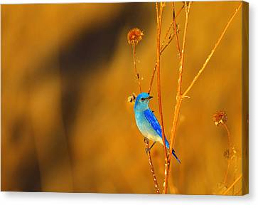 Canvas Print featuring the photograph Mr. Blue by Kadek Susanto